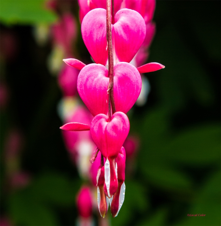 20150605-bleeding-heart-web