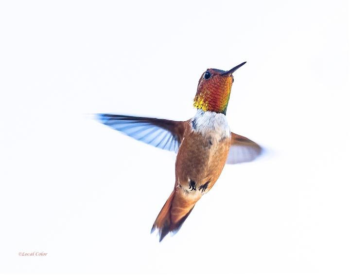 20160704-Rufous-Hummingbird-web