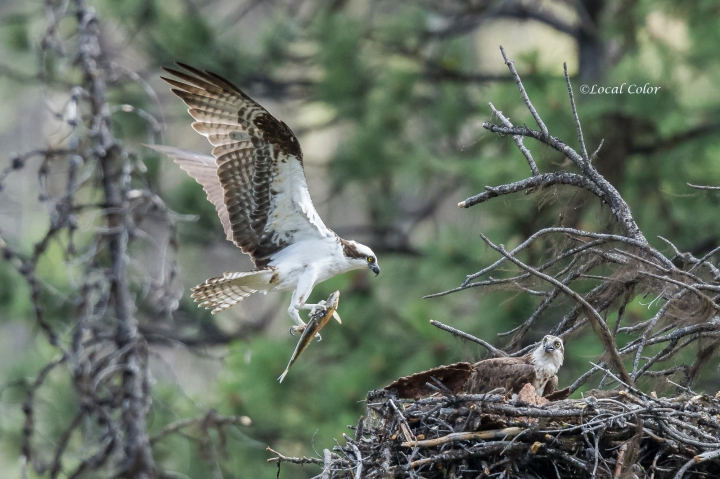 20160706-osprey-with-fish-web