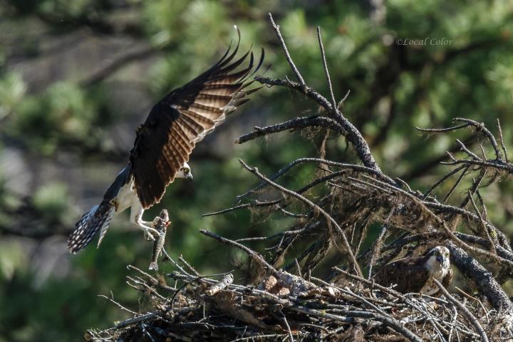 20160723-osprey-w-fish-web.jpg