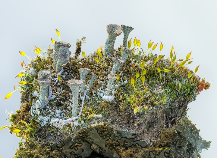 20130330-moss-lichen-web