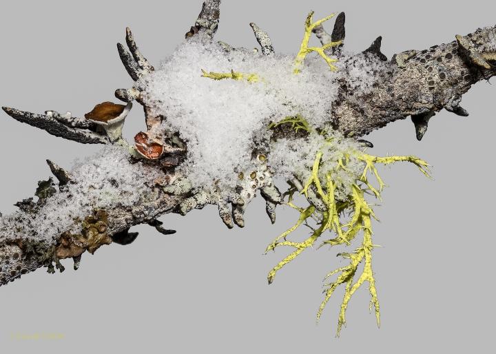 20140224-pine-lichen-web