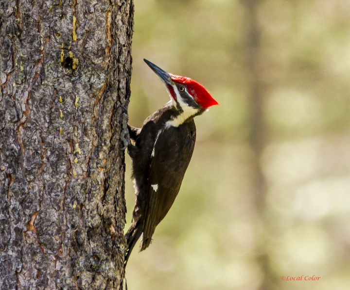 20140512-Male-Pileated-Woodpecker-web