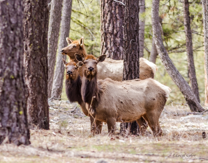 20170404-spring-elk-web