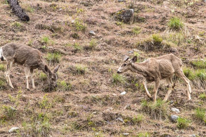 Little-deer-on-the-South-Fork-2