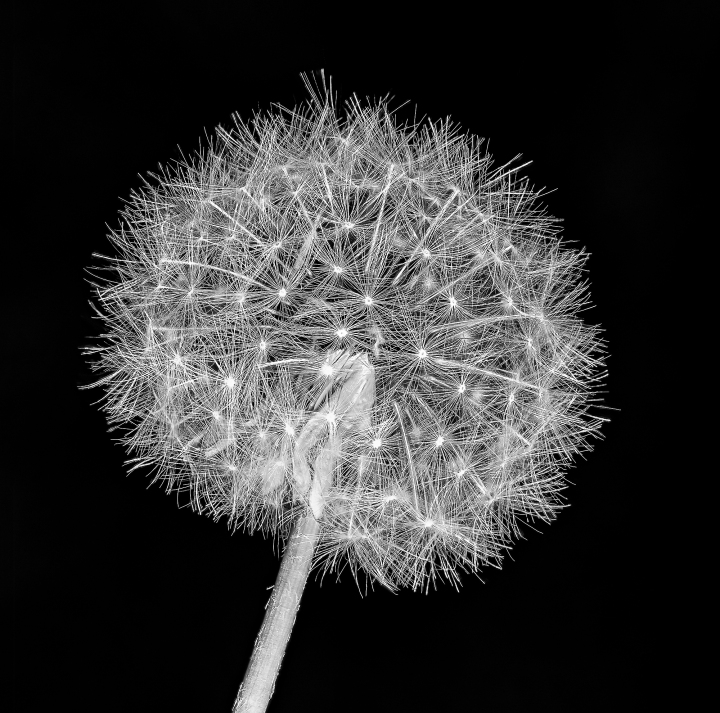 2017-05-28-14-52-10-dandelion-web
