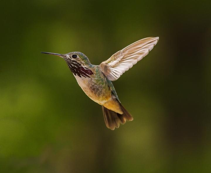 male-Calliiope-Hummingbird-web