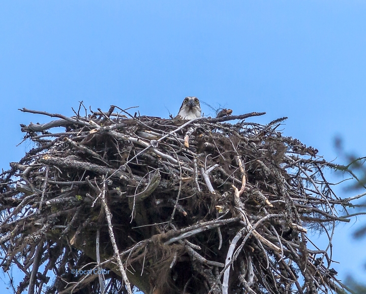 20170531-Osprey-with-new-nest-web