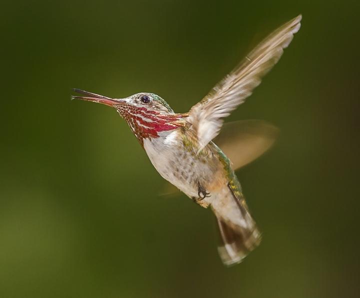 male-calliope-web