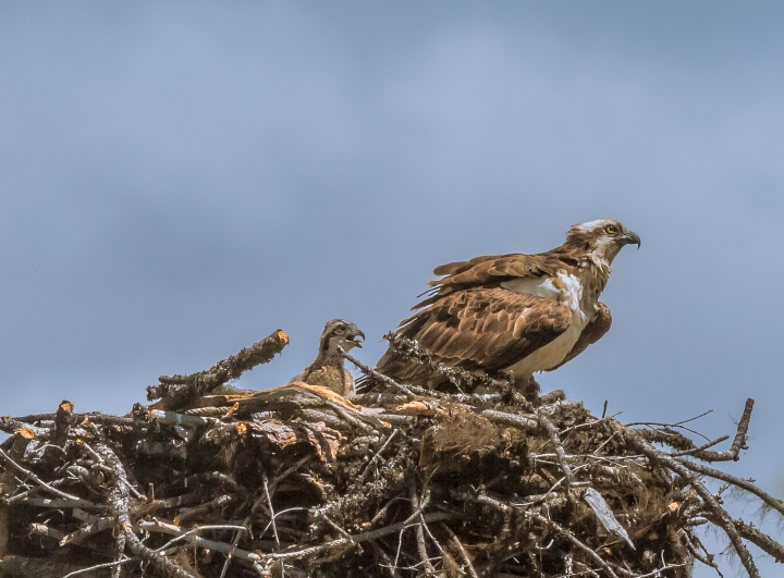 osprey-with-chick