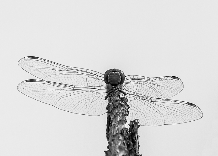20170820-dragonfly