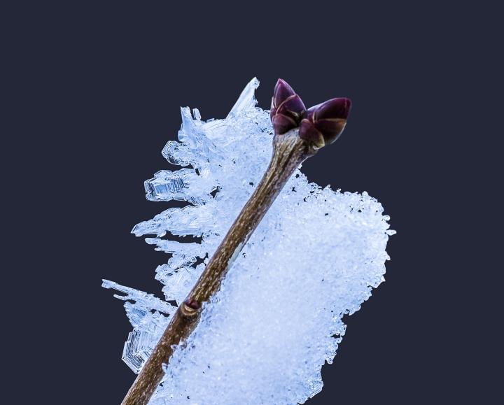 frosty-bud-web