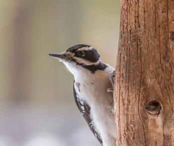 Hairy Woodpecker1