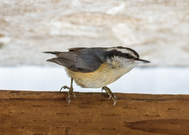 Red Breasted Nuthatch 1