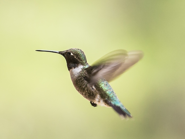 black-chin-hummingbird-web