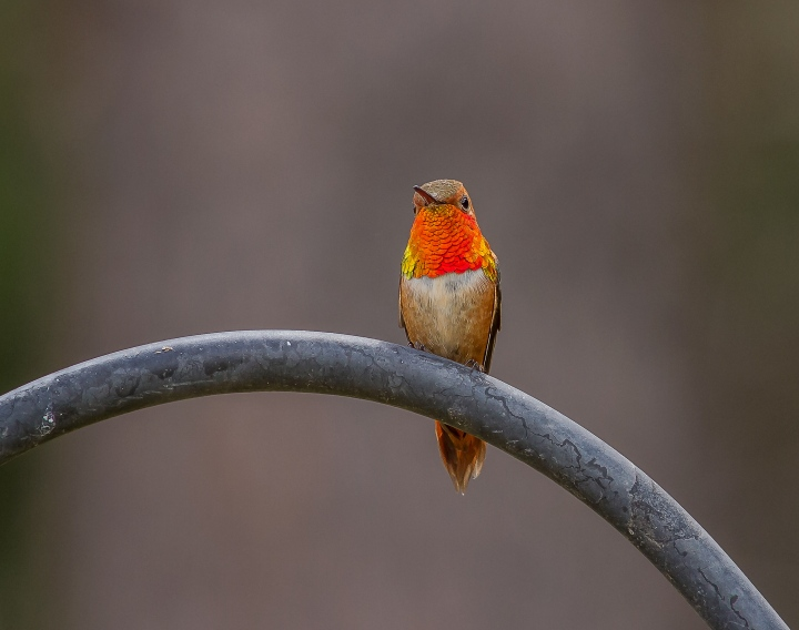 rufous-on-guard