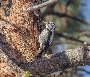 Three-Toed-Woodpecker-fem-web