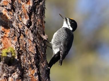 IMG_2330-Black Backed Woodpecker 2
